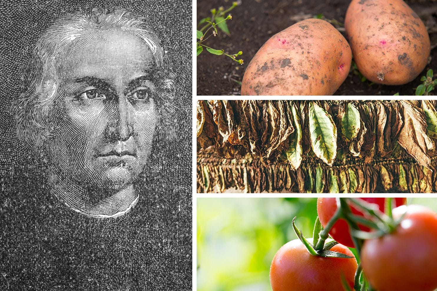 Clockwise from left: An engraved portrait of Christopher Columbus. Two potatoes in garden soil. Drying tobacco leaves. Homegrown tomatoes on the vine. (Engraving from