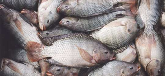fisheries_commission_tilapia