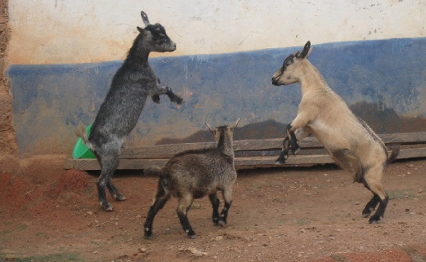4 goats arrested to be auctioned by Ga West Municipal Assembly today