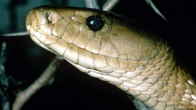 The black mamba is one of the fastest and most dangerous snakes in Africa