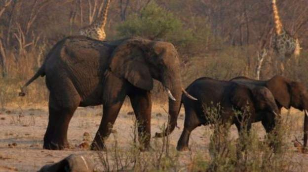 At least 55 elephants in the Hwange National Park have died since September due to drought