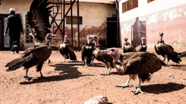 Guinea-Bissau is home to around 22% of the critically endangered hooded vultures